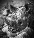 Plan rapproché de tête de rhinocéros Photo libre de droits