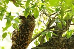 Plan rapproché de Tawny Fish Owl Images libres de droits