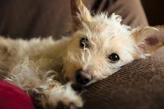 Plan rapproché de terrier bronzage avec la fourrure effilée Photographie stock libre de droits