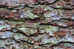 Plan rapproché de texture d'écorce de pin photo libre de droits