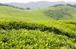 Plan rapproché de thé Photos libres de droits