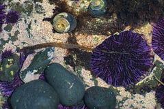 Plan rapproché de Tidepools sur la côte de l'Orégon photographie stock