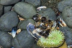 Plan rapproché de Tidepools sur la côte de l'Orégon photographie stock libre de droits