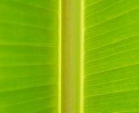 Plan rapproché de tige et de nervure de feuille vertes de banane (ANCHOIS INDIEN ou S Image libre de droits