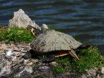 Plan rapproché de tortue suncatching photographie stock