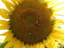 Plan rapproché de tournesol avec l'abeille de miel Photo libre de droits