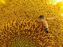 Plan rapproché de tournesol avec l'abeille de miel Photographie stock