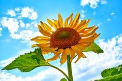 Plan rapproché de tournesol Tournesol avec le ciel bleu image libre de droits