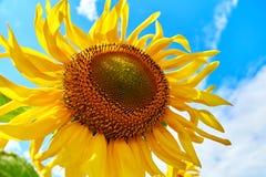 Plan rapproché de tournesol Tournesol avec le ciel bleu photographie stock libre de droits