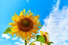 Plan rapproché de tournesol Tournesol avec le ciel bleu photos libres de droits