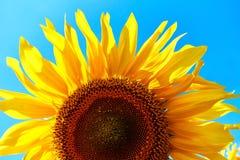 Plan rapproché de tournesol Tournesol avec le ciel bleu photos stock
