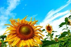 Plan rapproché de tournesol Tournesol avec le ciel bleu image stock