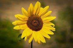 Plan rapproché de tournesol jaune Photographie stock libre de droits
