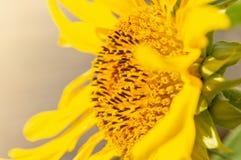 Plan rapproché de tournesol de la fleur photographie stock