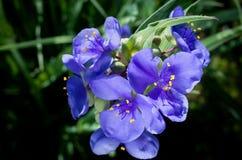 Plan rapproché de Trilliums d'usine de Spiderwort Photo stock