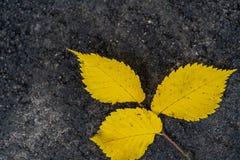 Plan rapproché de trois Aspen Leaves Isolated ordinaire jaune sur le fond d'herbe verte, fond abstrait image libre de droits
