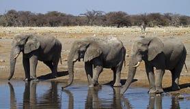Plan rapproché de trois taureaux d'éléphant au waterhole Photo stock