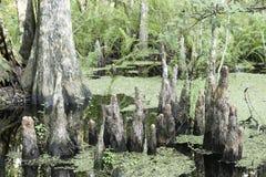 Plan rapproché de tronçon d'arbre de Cypress Image stock