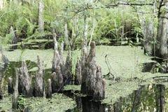 Plan rapproché de tronçon d'arbre de Cypress Image libre de droits