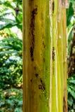 Plan rapproché de tronc de bananier, Guatemala, Amérique Centrale photo libre de droits