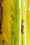 Plan rapproché de tronc de bananier, Guatemala, Amérique Centrale photo stock