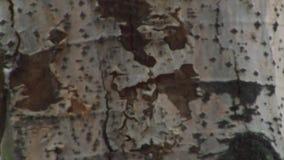 Plan rapproché de tronc d'arbre de tremble banque de vidéos