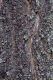 Plan rapproché de tronc de pin avec l'écorce et la mousse Photo stock