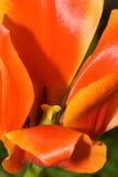 Plan rapproché de tulipe Photographie stock libre de droits