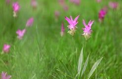Plan rapproché de tulipe Images stock