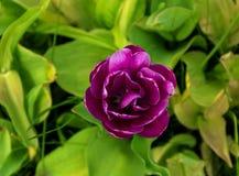 Plan rapproché de tulipe de pivoine sur un fond des feuilles vertes Images libres de droits