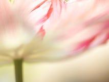 Plan rapproché de tulipe (Tulipa) (84) Photo libre de droits