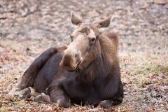 Plan rapproché de vache à orignaux Photographie stock libre de droits