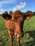 Plan rapproché de vache Photographie stock