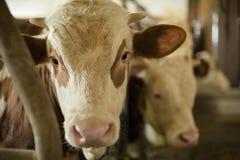 Plan rapproché de vache dans l'écurie Photos stock
