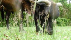 Plan rapproché de vache noire mangeant l'herbe sur un pré vert de sumner clips vidéos