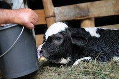 Plan rapproché de veau Photographie stock libre de droits