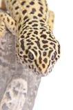 Plan rapproché de verticale de Gecko photos libres de droits