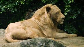 Plan rapproché de vieux grand lion blanc banque de vidéos