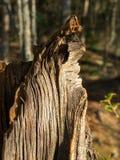 Plan rapproché de vieux tronçon dans la forêt avec le soleil photos stock