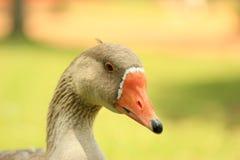Plan rapproché de visage de canard pendant le jour ensoleillé Photographie stock