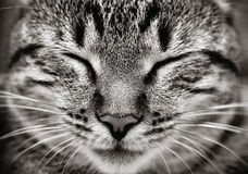 Plan rapproché de visage de chat de sommeil Photo libre de droits