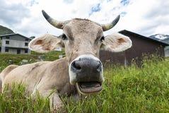 Plan rapproché de visage de vache Photographie stock libre de droits