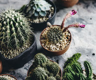 Plan rapproché de vrai cactus dans des pots Photos stock