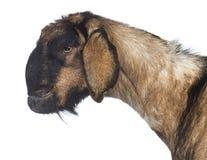 Plan rapproché de vue de côté d'une chèvre Anglo-Nubian avec une mâchoire déformée photos stock