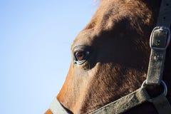 Plan rapproché de vue de côté d'un oeil de cheval sur le fond de ciel bleu Photos stock