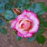 Plan rapproché de vue supérieure de rose de rose dans les jardins Photographie stock libre de droits