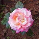 Plan rapproché de vue supérieure de rose de rose dans les jardins Photos stock