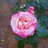 Plan rapproché de vue supérieure de rose de rose dans les jardins Images stock