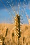 Plan rapproché de wheatear Image libre de droits