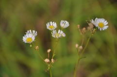 Plan rapproché de wildflowers de camomilles photo stock